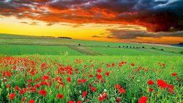 Red Flowers Prairie Sunsetnature Wallpaper Hd