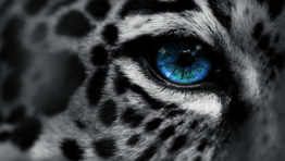 Leopard Closeup Wallpaper