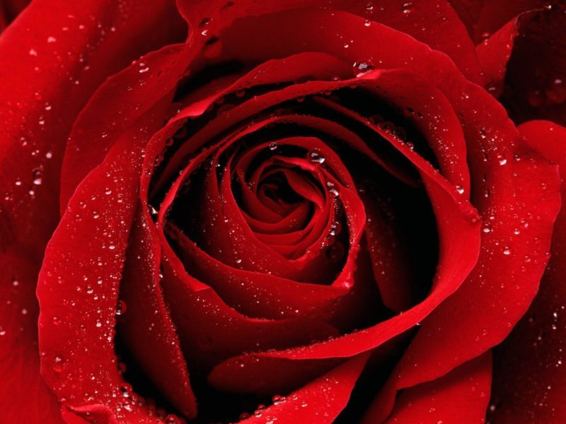 Red Rose Earth Wallpaper